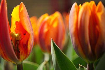Tulp van Kees Rustenhoven
