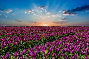 Tulpenfelder in den Niederlanden, die Zwiebelfelder von Gert Hilbink