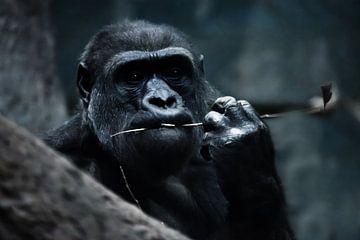Gesicht eines alarmierenden Gorillaweibchens auf einem dunklen, alarmierenden Hintergrund, ein Symbo von Michael Semenov