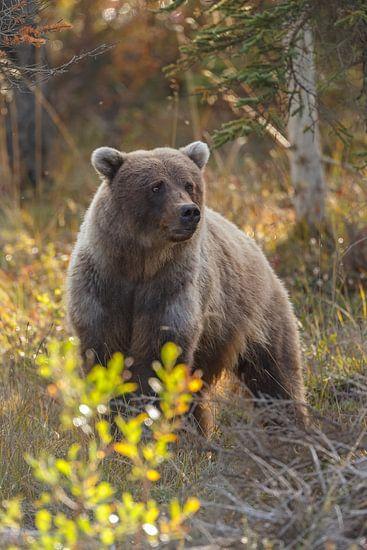 Grizzly beer in een herfstsetting van Menno Schaefer
