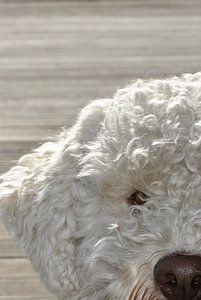 Portret van een Lagotto Romagnolo hond