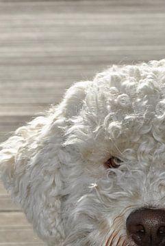 Portret van een Lagotto Romagnolo hond van