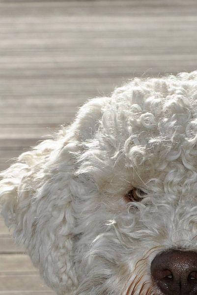 Portret van een Lagotto Romagnolo hond van arjan doornbos