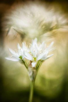 Wilde knoflookbloemen met een pittoreske achtergrond van Nicc Koch