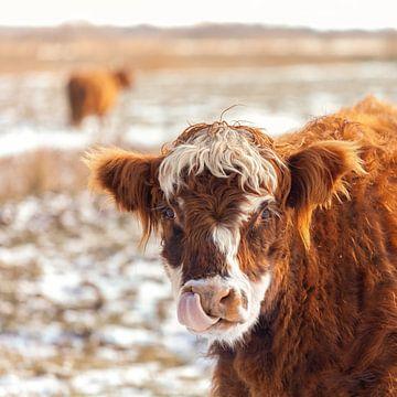 Schotse Hooglander met tong in het winterzonnetje