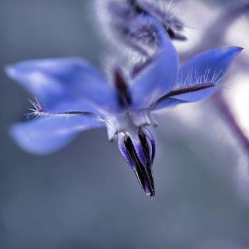Fleur bleue sur Martine Affre Eisenlohr