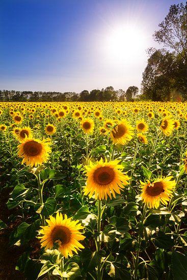 Zonnebloemen Toscane van Dennis van de Water