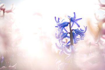 Blauwe hyacint in het roze bollenveld van Fotografiecor .nl