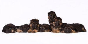 Duitse herder pups van