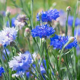 Blaue Kornblumen auf einem Feld. von Christa Stroo fotografie