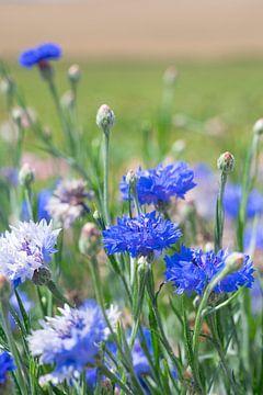 Blaue Kornblumen auf einem Feld.