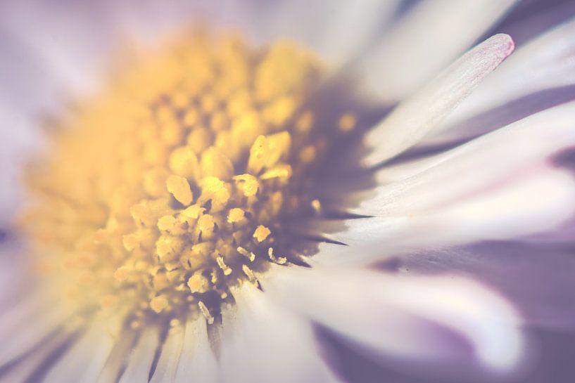 Daisy up close, horizontal (Bellis perennis) van Alessia Peviani