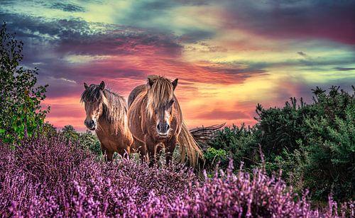 Wilde paarden op de bloeiende heide