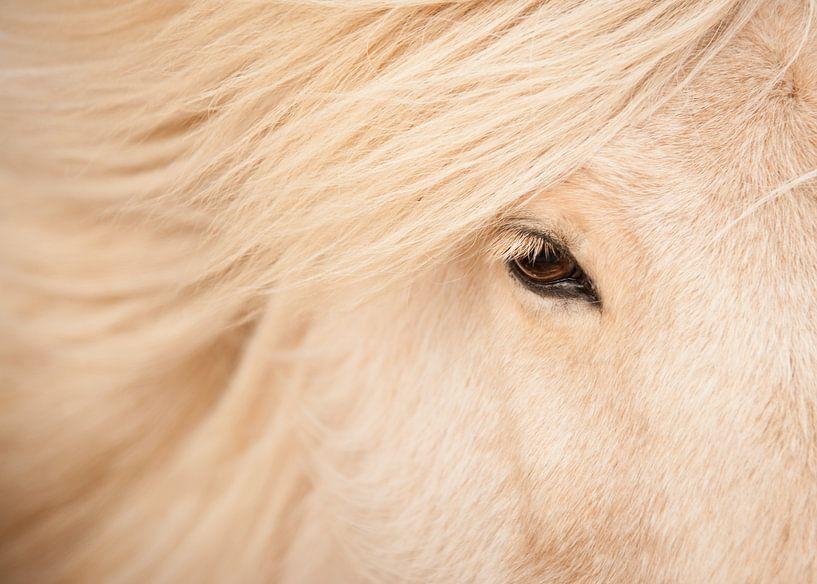Beauty von Islandpferde  | IJslandse paarden
