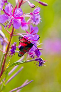 sint jacobs vlinder in de natuur op Ameland  von Janna-Jacoba van der Laag