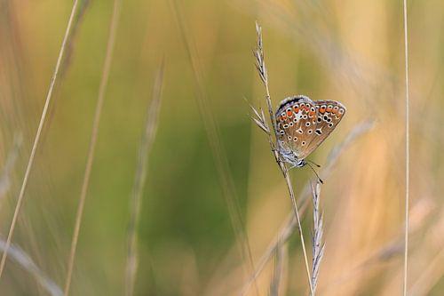 Icarusblauwtje von Patrick Brouwers