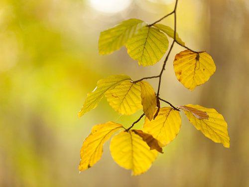 Beukenblad in herfstkleur van