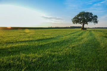 Grote boom in het veld van Jeroen Smit