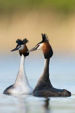 Haubentaucher ( Podiceps cristatus ) in der Balz, balzen miteinander, schwimmen gegenüber, typisches von wunderbare Erde
