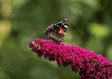 Vlinder op bloem van Kashja Neels