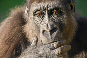 Gorilla close-up portret van dichtbij van Sjoerd van der Wal