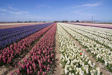 Gekleurde hyacintenvelde in het voorjaar von Maurice de vries