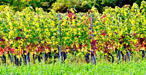 Wijngaarden in de zon van Leopold Brix