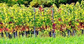Weinstöcke im Sonnenschein von Leopold Brix