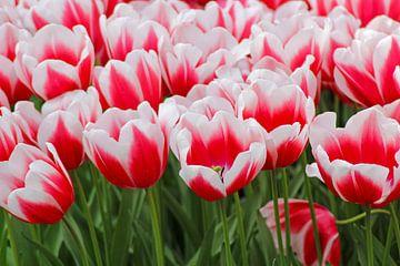 wit-rode tulpen van laura van klooster
