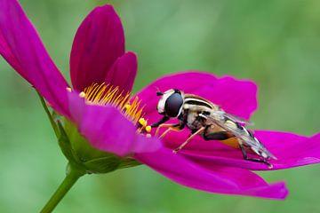 Zweefvlieg op roze bloem van Evelyne Renske