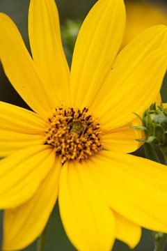 Gelbe Blüte von Laurenz Heymann