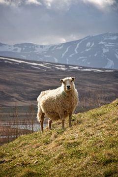 Een schaap in de IJslandse bergen van Elisa Hanssen