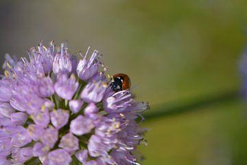 Ladybug on a flower sur Lizet Wesselman