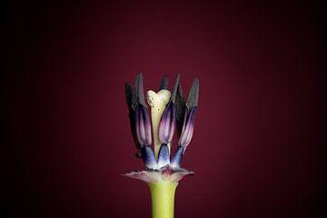 Herz einer Tulpe von Maren Oude Essink