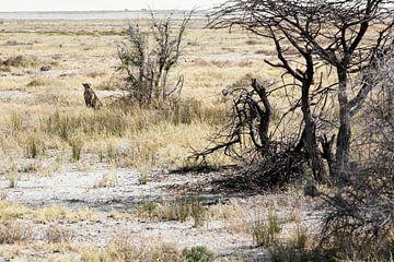 Wilde Afrikaanse jachtluipaard, in de Okavango Delta, Afrika van