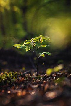 Een zaailing in het bos van Florian Kunde
