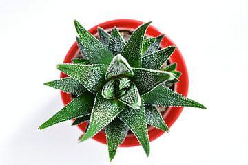 Aloe von oben von Philipp Klassen