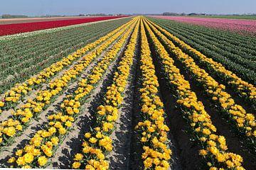 hollandse tulpen velden van Angelique Rademakers