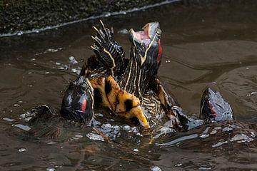 Zierschildkröte : Tierpark Blijdorp von Loek Lobel