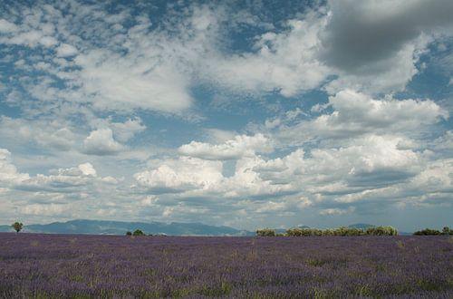 Lavendelveld met bewolking