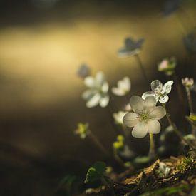 Weiße Leberblümchen von Yvonne Albe