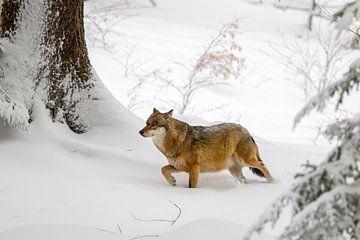 Wolf (Canis lupus) im Winter