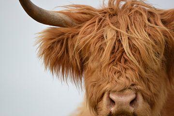Schotse hooglander kop detail