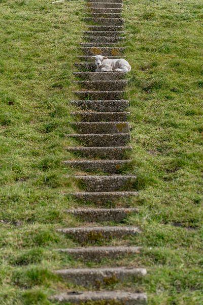 Agneaux sans vertige - Texel sur Texel360Fotografie Richard Heerschap