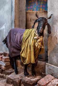 Royal Goat, Neu-Delhi, Indien von Leonie Broekstra