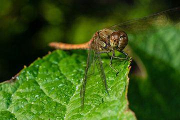 libelle warmt zich op in de zon von mick agterberg