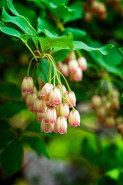 Bellenplant (Enkianthus Campanulatus) van Marly De Kok
