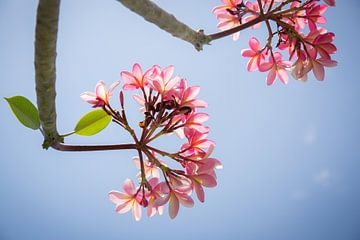 Frangipani rosa Blumen gegen einen blauen Himmel von Esther Mennen