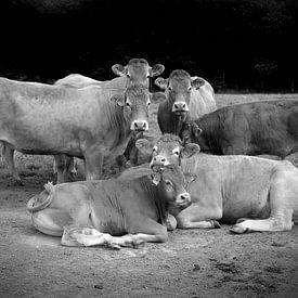 Groepsfoto Koeien in weiland van Tom Oosthout
