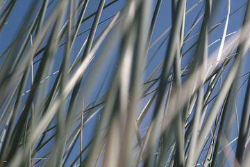 gras duinen, helmgras, gras, marramgrass, das helmgras, Ammophila arenaria van Yvonne de Waal Malefijt